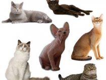 Cuales son los tipos de gatos que existen